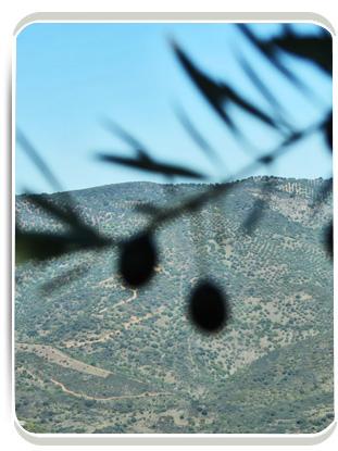 Rama de olivo y olivar de altura