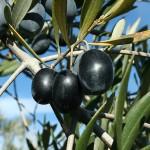 aceitunas-nevadillo-negro