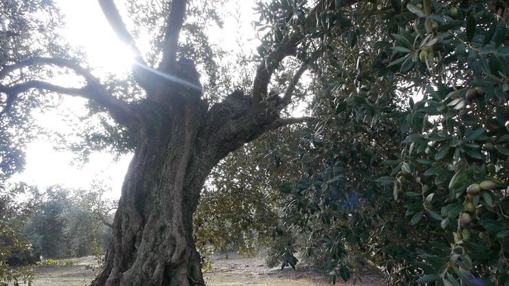 olivar de sierra en montoro