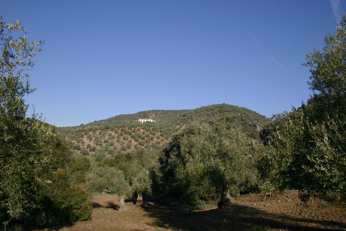 olivar-sierra-montoro