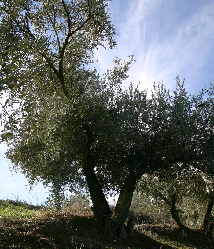 olivo-altura